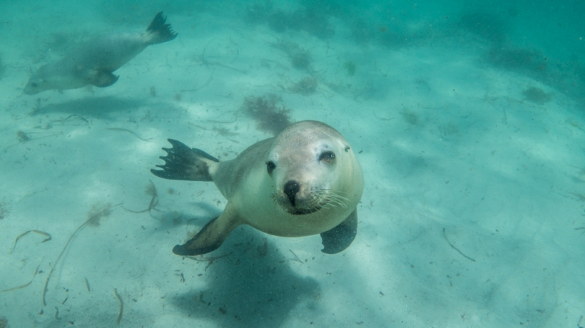 Australian-Sea-Lions-swimming-Calypso-Dive-Charters-Hopkins-Island