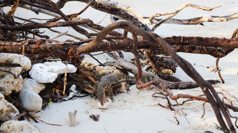 A monitor spotted on our tour around the island, grabbing some crab for breakfast. Gili Meno