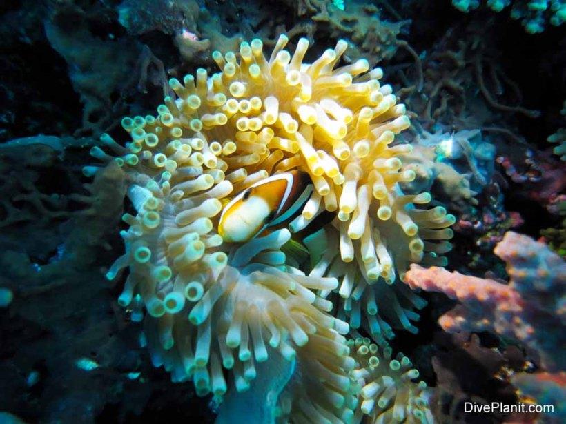 Clownfish in Crystal Bay, Nusa Penida, Bali.