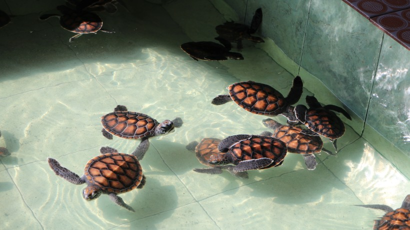 Turtle hatchlings at the sanctuary